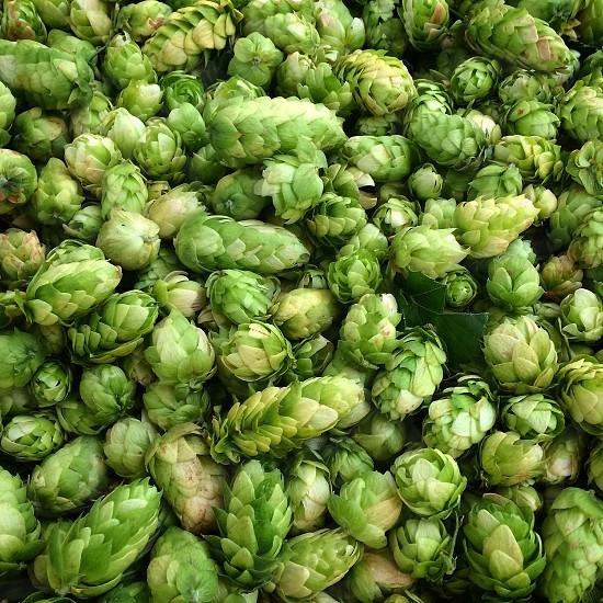 Fresh hops; craft beer; beer photo