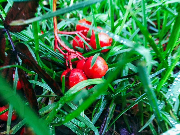 red round small fruits on green grass photo