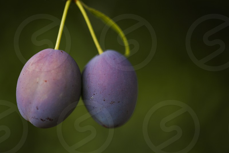 2 plums ready for the picking photo