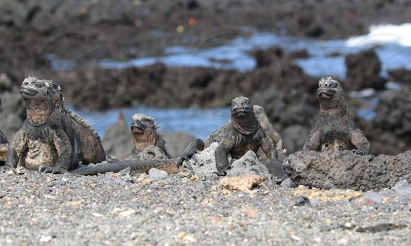 marine iguanas reptile scary Godzilla-like muscular buff beach ugly photo