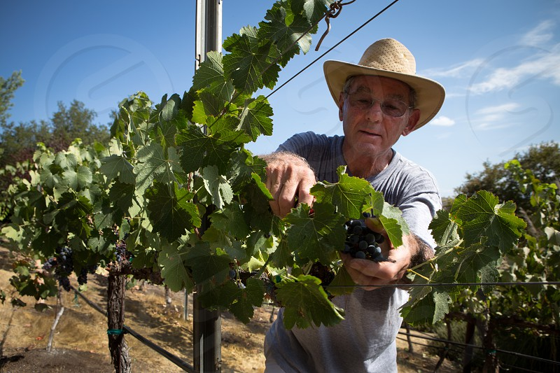 Man picks grapes off the vine photo