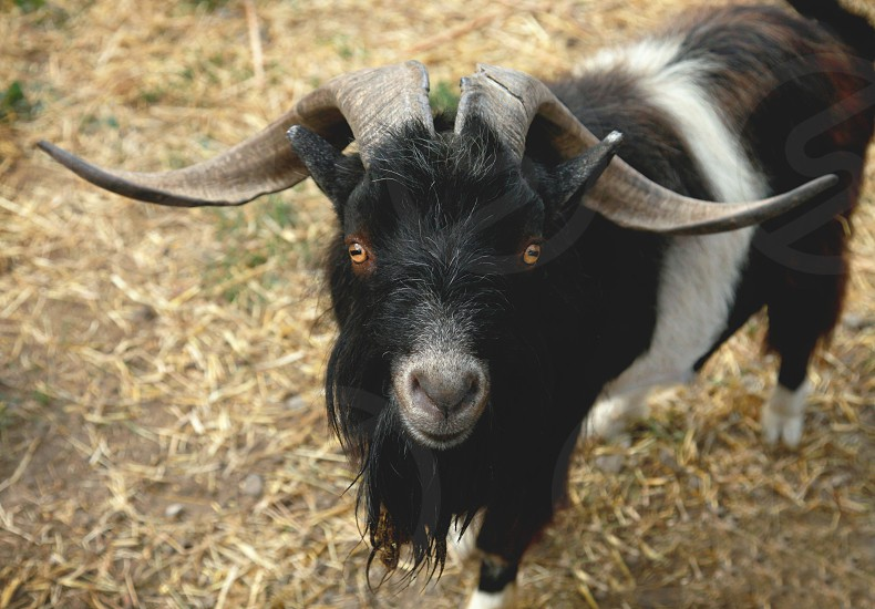 black and white male goat photo