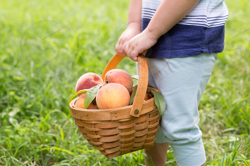 Toddler Girl Holding a Basket of Peaches Picked from the Backyard photo