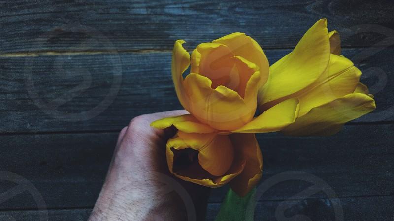 beauty aroma tulips flowers yellowgreenhand photo