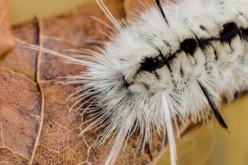 Close up of the mouth of a Hickory Tussock Moth Caterpillar. photo