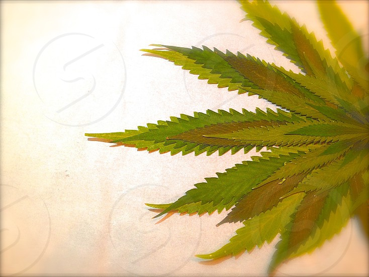 cannabis leaf photo
