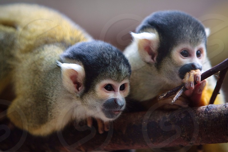 Black-capped Squirrel Monkeys photo
