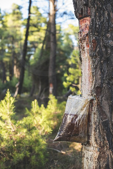 Collect of resin on pine tree. Plastic bag photo