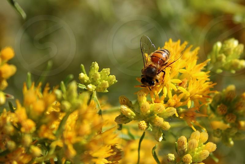 Bee on flower in Gilbert AZ photo