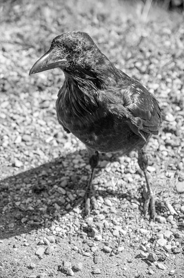 Raven in black and white photo