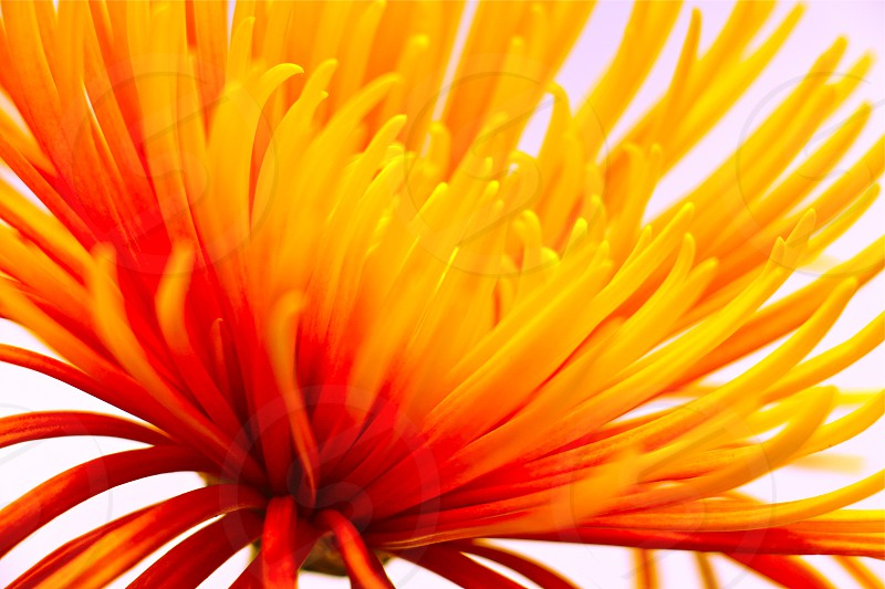 yellow and red flower in full bloom photo