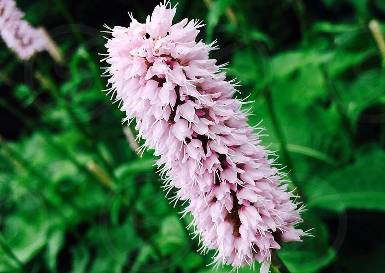 Pink dusting flowergardenpinkflowerpetals photo
