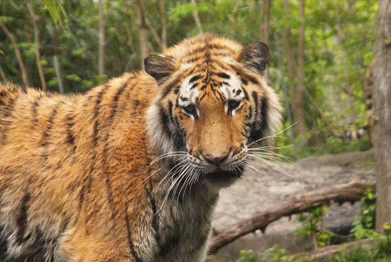 brown tiger photo