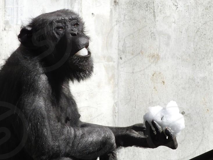 Chimpanzee eating snow photo
