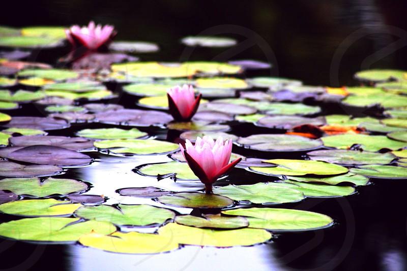 Lilies - Argyle Preset in Litely photo