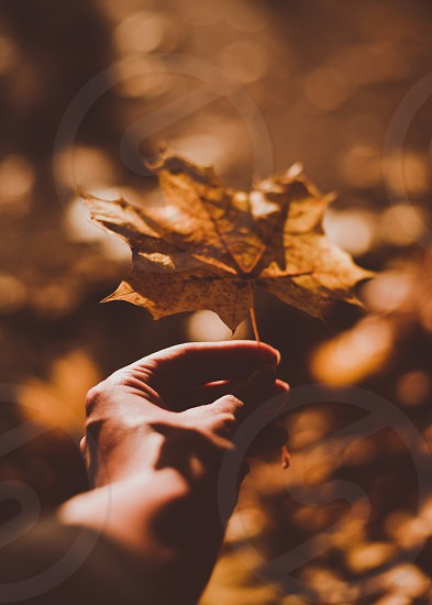 A woman's hand holding out an orange maple leaf.  photo