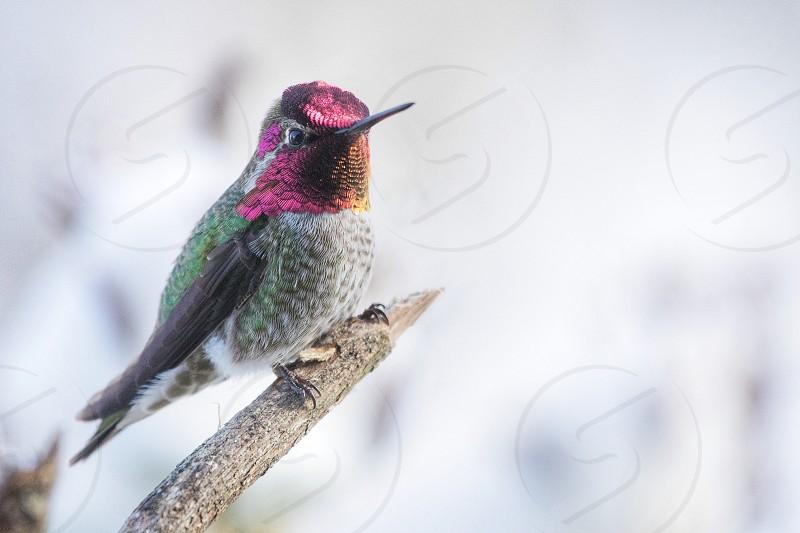 annas hummingbird photo