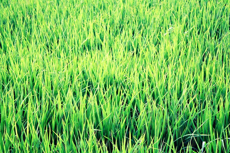 tall green grass field photo