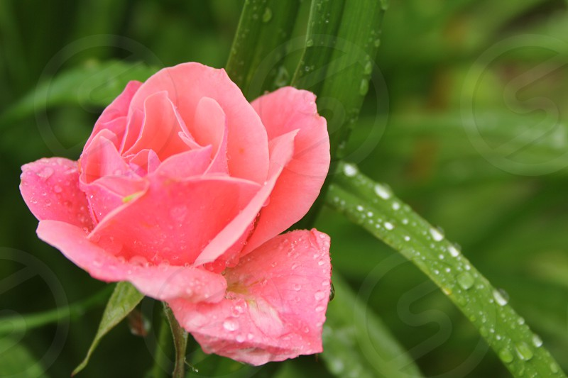 Rose pink rose flower plant nature  photo