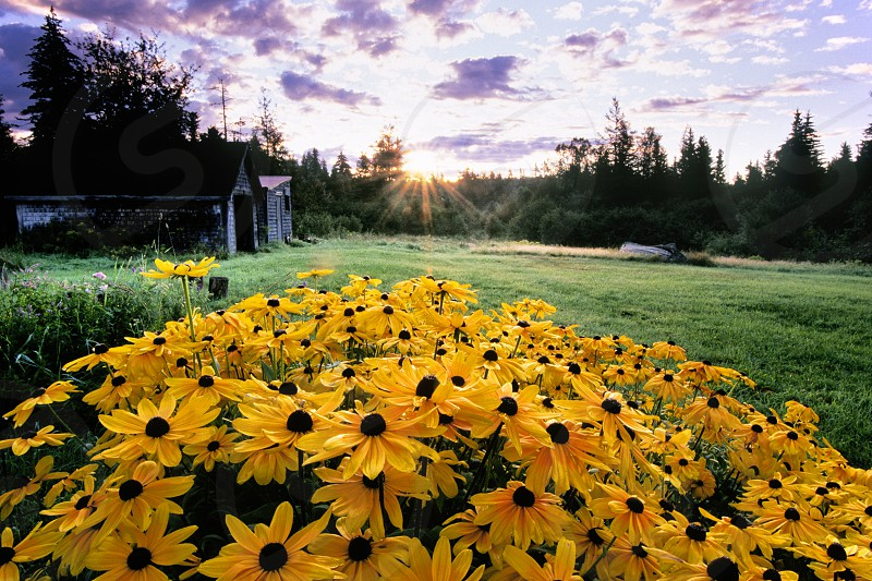 A backyard in the country with a patch of black-eyed-susans. photo