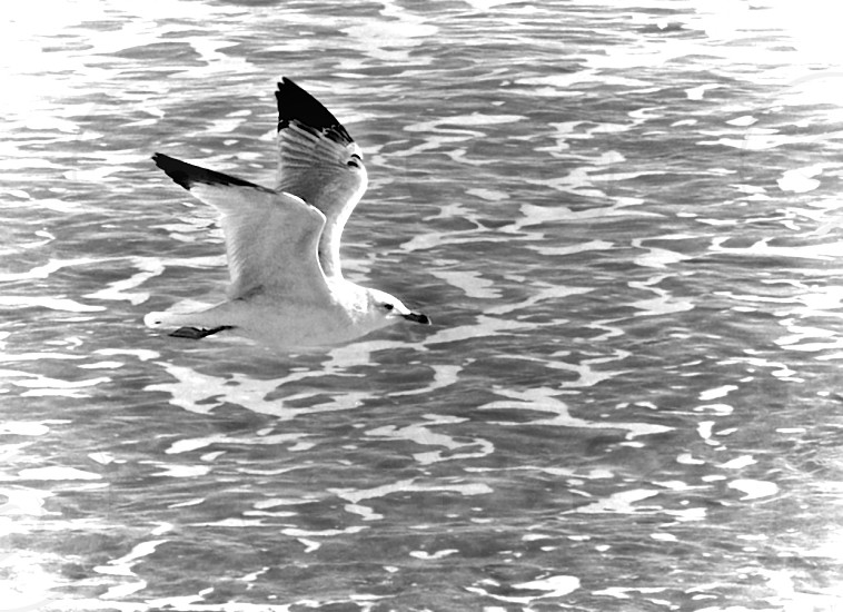 Black and White seagull flying through the air over the ocean with white froth on the surface.  photo
