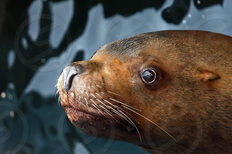 Steller Sea Lion (Eumetopias Jubatus) floats in water. Avacha Bay Kamchatka Peninsula Russia. photo