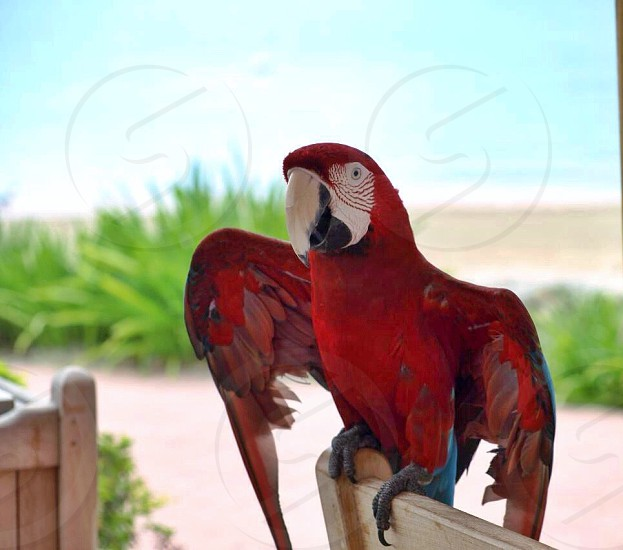 Tropical macaw parrot Caribbean red beach bird wild free wings photo