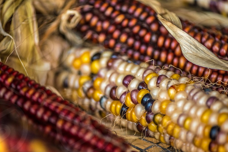Macro shot of colored Indian corn at harvest time in the Fall. photo