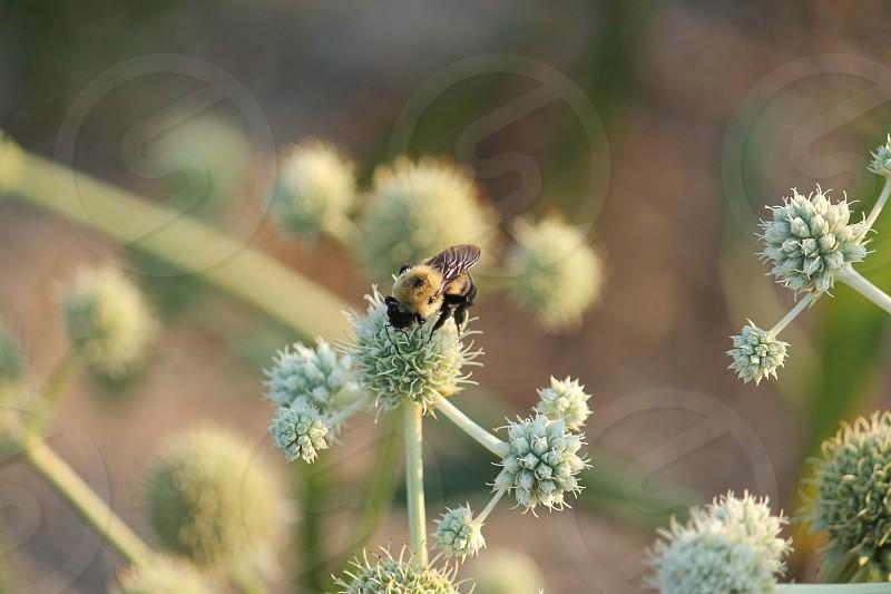 Bumble bee.  Nature.  Closeup bug. photo