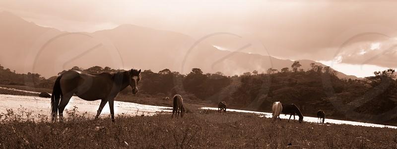 landscape horses wild nature sepia photo