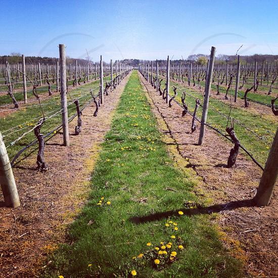 green grass in vineyard isle photo