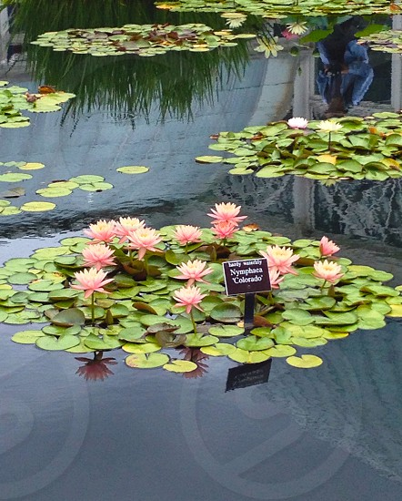 Water lily pad flowers photo