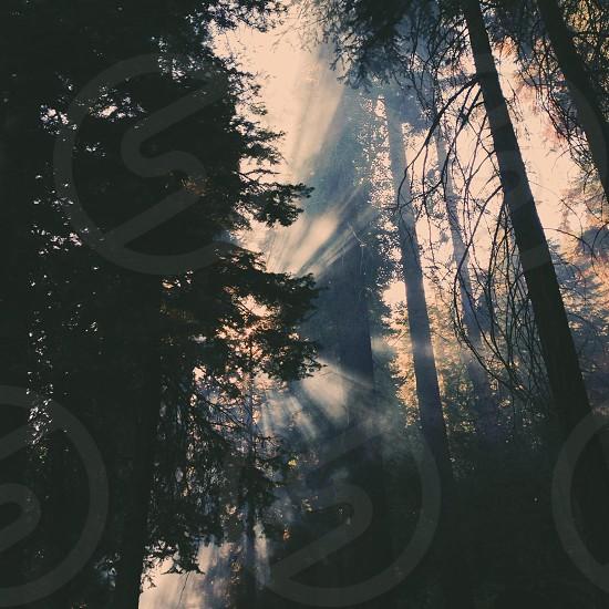 Sequoias 2013 photo