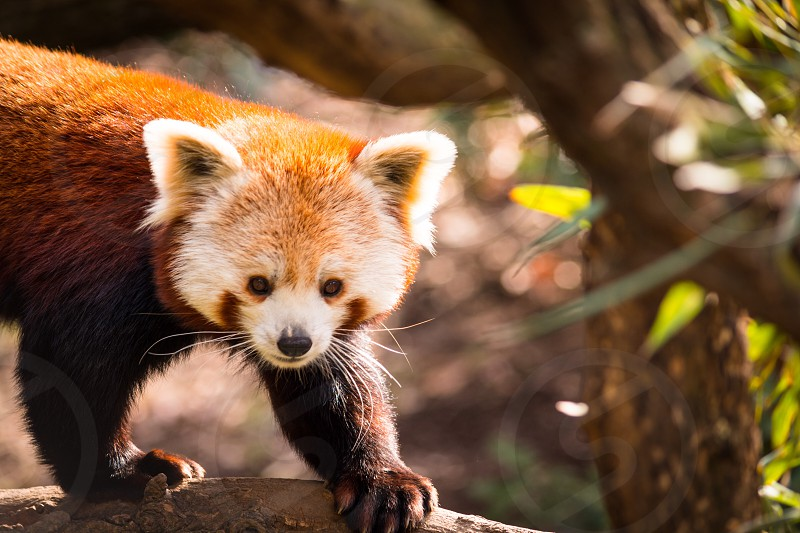 Red panda Asian whiskers fluffy cute animal  photo