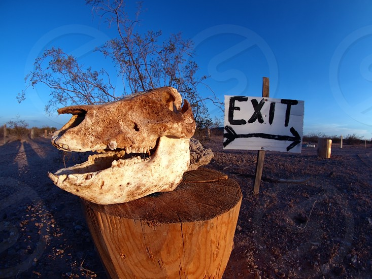 An intact Javalina Skull being used to mark the way out of an area of land in Arizona. photo