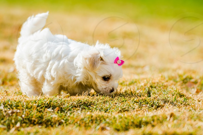Puppy Corgi Cute Dog Summer Retriever Young White Little Pet Small Animal Grass Park Mammal Pedigree Outdoors Nature Golden Spring Green Background Happy Outdoor Portrait Adorable Puppies Active Outside Baby Friend Walking