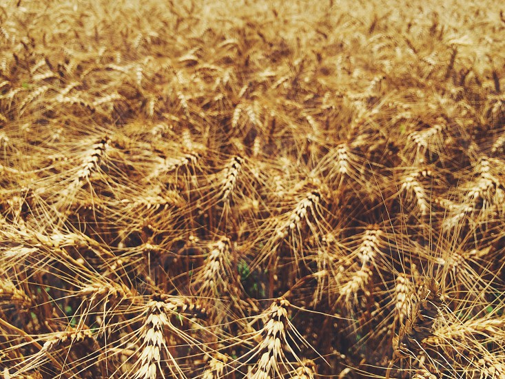 Wheat golden field field of wheat photo