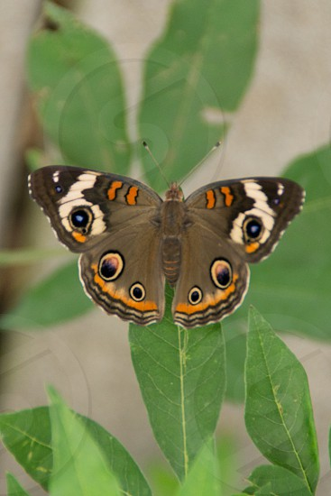 gray orange and white blue butterfly photo