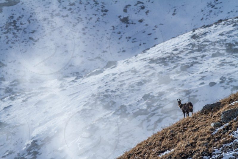 Chamois Rupicapra rupicapra on the rocky hill with montain covered by snow mountain in Gran Paradiso Italy. Autumn in the mountains. Mammal herbivorous wildlife scene photo