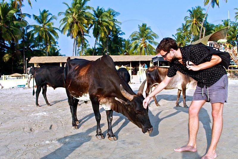 india beach tourist travel explore discover cow holy sacred palm tree photo