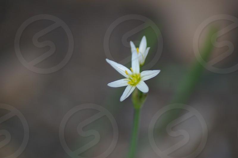 White flower against unfocused/blurred background. photo