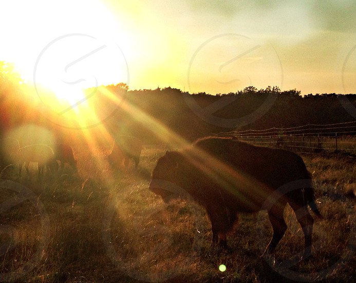 brown yak on grass field photo