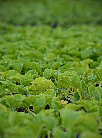 Many trays of vegetable seedlings photo