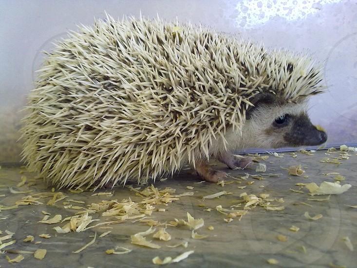 white hedgehog photo