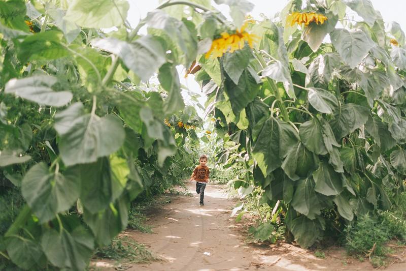A little boy running through a sunflower field. photo