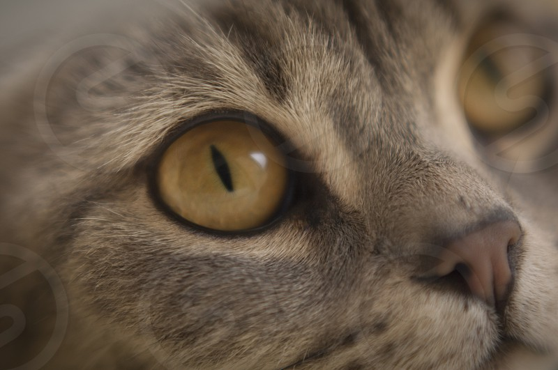 Billie the cat pets breeds eyes looking at you photo