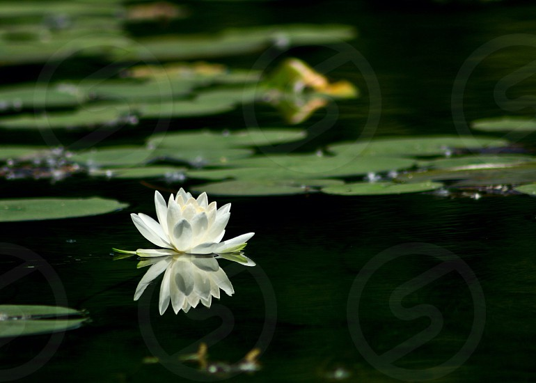 lily water flower green nature  photo