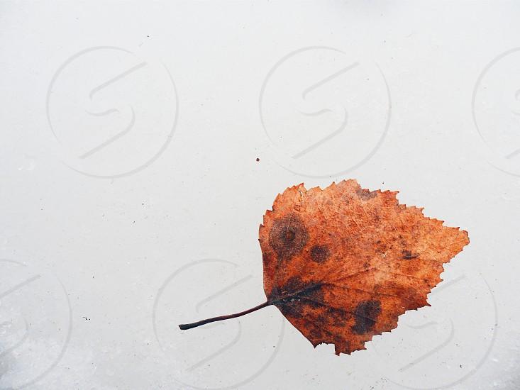 autumn leaf on the ice photo