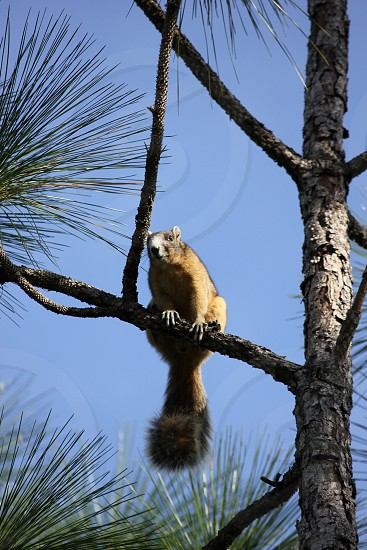 Fox Squirrel in a Pine Tree photo