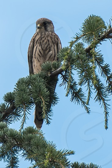 Kestrel purched at the top of a large pine tree photo